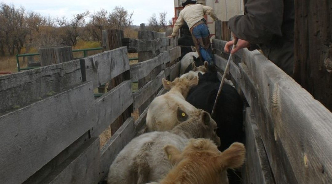 La vendita al mercato del bestiame